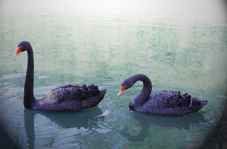 A pair of black swans on the lake Stock Photo - 12989350