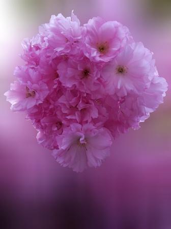 Sakura blossom in Spring  Stock Photo - 13157917