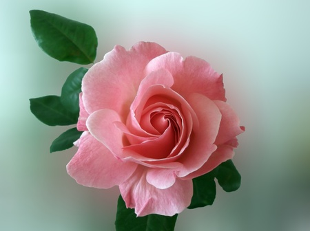 pink rose on a a blurred background