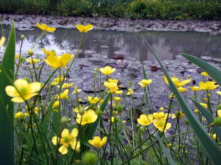 yellow spring flowers grow above the water Stock Photo - 13665194