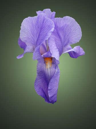 Blue flover iris on green background  photo