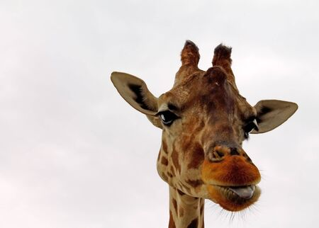Young Giraffe Shows the language Stock Photo - 15585381