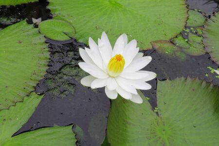 nymphaeaceae: Water Lily with Flower  Nymphaeaceae