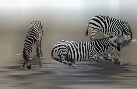 pair zebras with a little zebra Stock Photo