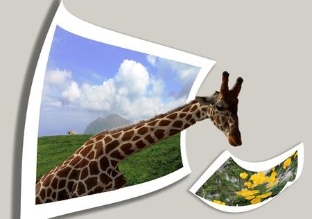 beauty in natur  grass: giraffe. collage