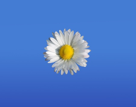 Daisy close up on a blue background photo