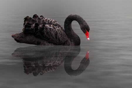 black swan Stock Photo - 18733497