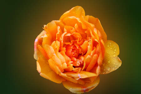 donative: yellow tulip isolated Stock Photo