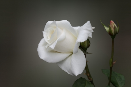 Simply Rose - White