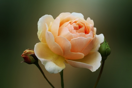rose beige with bud