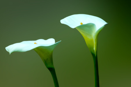 two flowers cala, isolated on a dark green background photo