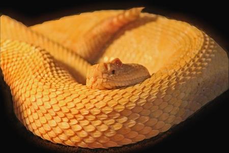 serpiente de cascabel: serpiente de cascabel se acurrucó, primer plano Foto de archivo