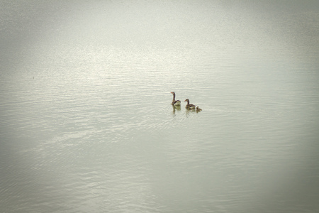 goose family swimming in the lake photo
