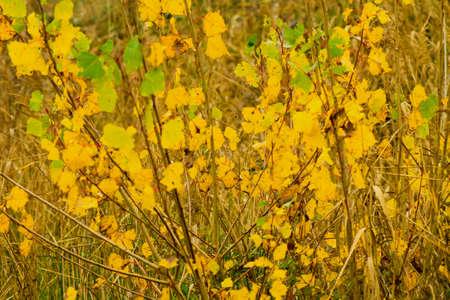 aspen leaf: yellow, autumn, aspen leaf , close up