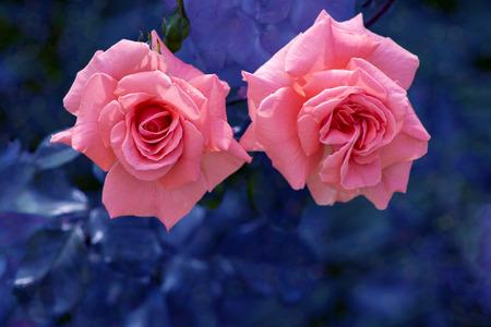 Pink rose on a dark background ,atmospheric photos photo