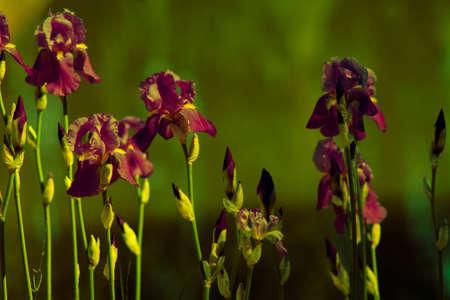 purple iris flowers on a green   background Stock Photo