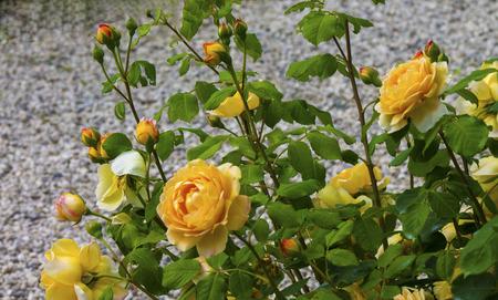 rosas amarillas: arbusto hermosas rosas amarillas sobre un fondo gris