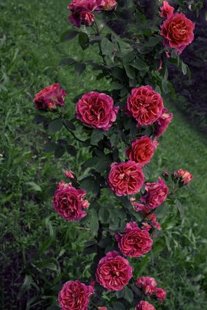rose bush: crimpy rose bush with red roses