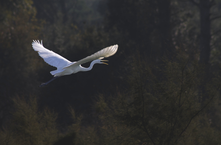 atmospheric: elegant white egret in flight, atmospheric, photo