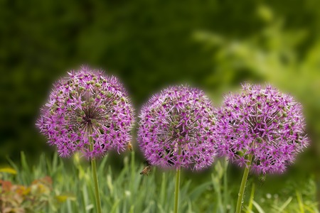 allium flower: three giant purple allium flower field with tiny blue flowers