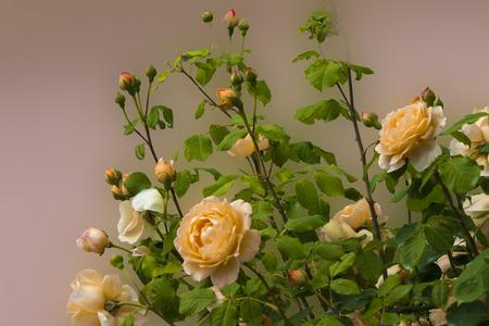 yellow  blomming rose  bush flowers , close up