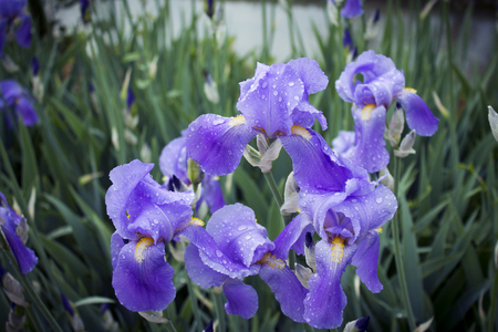 purple irises: Group of purple irises in spring sunny day ,with dew drops