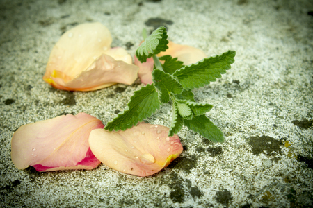 spearmint: mint leaves with rose petals , with drop of dew . close up