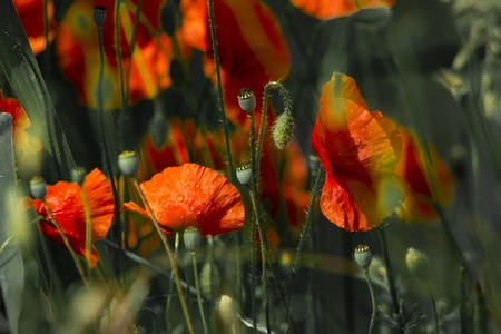bush blooming red poppies on a background sunny rays