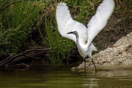 ciconiiformes: Egret in the wild, on the lake