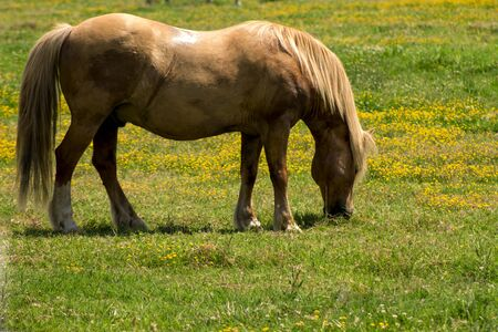 skewbald: red horse, grazing on the a field on a farm Stock Photo