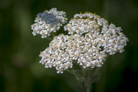 staunch: Yarrow (Achillea Millefolium) in bloom , medicinal plant Stock Photo