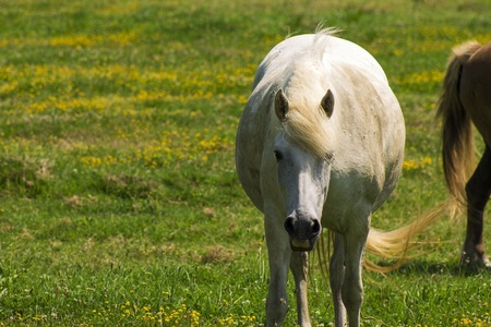 white horse on a flowering a field, farm, close-up