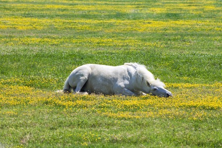 white horse, lying on a flowering a field, farm, close-up