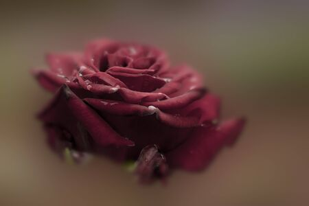 burgundy rose, close-up, on a blurred background Stock Photo