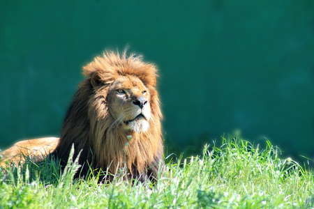 Big male lion in morning light