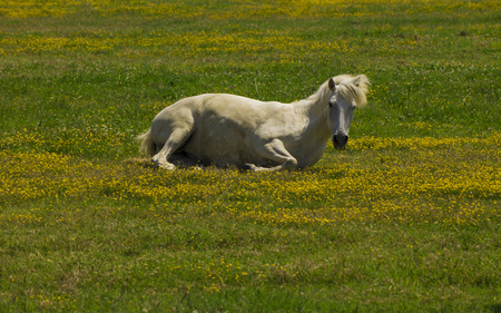 White horse relaxing laying on the grass in a field