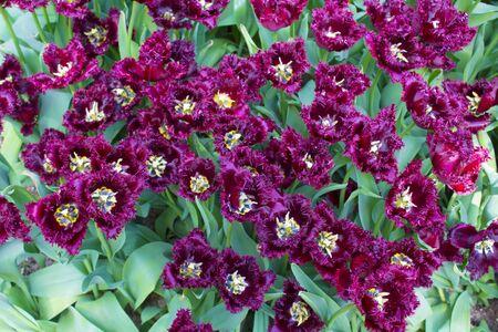 Group purple tulips. Spring landscape. Stock Photo