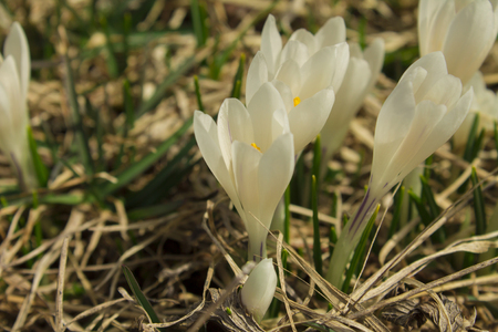 White saffron flowers blossomed in the mountains