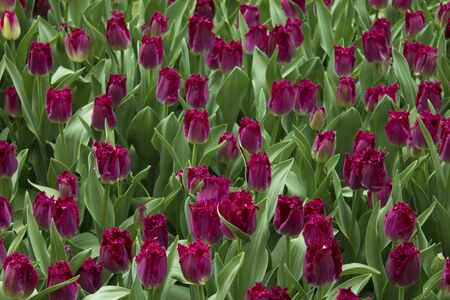 Group purple tulips. Spring landscape.Background of purple tulips Stock Photo