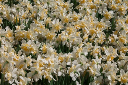White Daffodil spring blossom in park .background daffodil narcissus