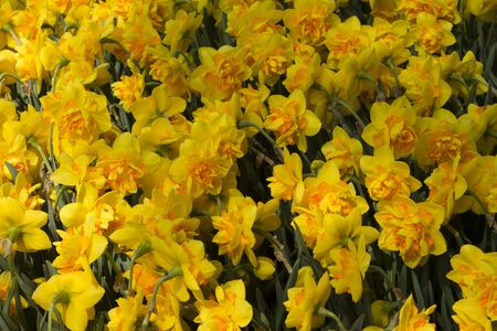 beautiful blooming yellow daffodils in a park.Background of yellow daffodil Stock Photo