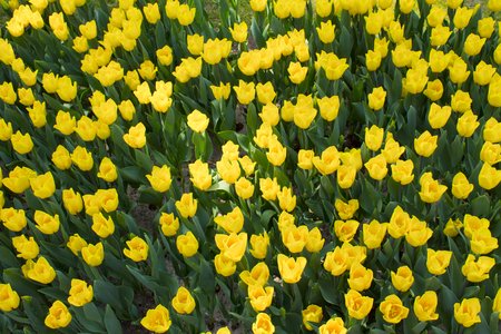 colorful tulips flower blooming in a park.Background of yellow tulips