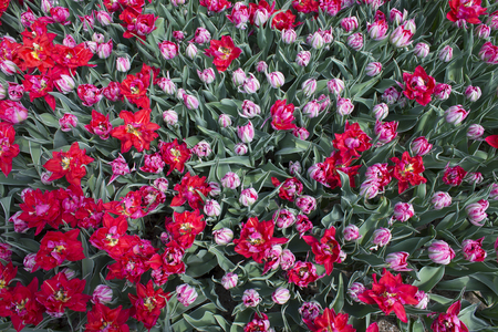 Background of buds and flowers of tulip Eternal Flame