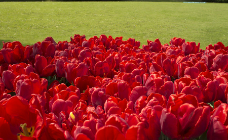 Red tulips background. Group of red tulips in the park. Spring landscape. Tulip background.