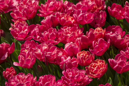 . Group of red tulips in the park. Spring landscape. Tulip background. Beautiful bouquet of tulips.