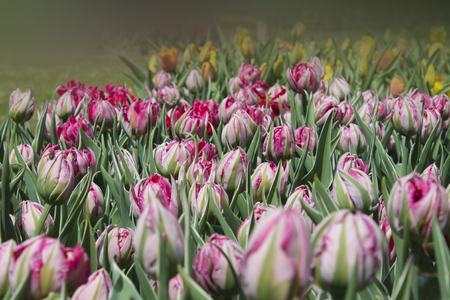 Background of buds of tulip Eternal Flame