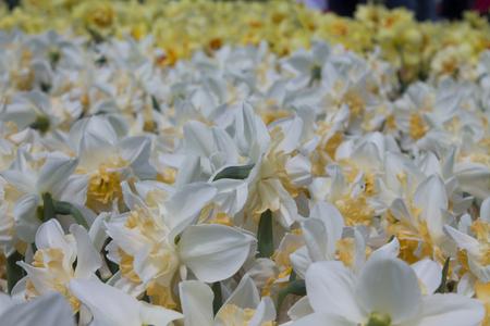 White Daffodil spring blossom in park .background daffodil