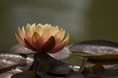 Lotus flower in water in sunlight , close up