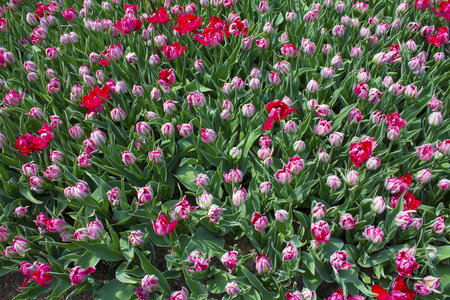 Background of many red tulip flower buds Stock Photo