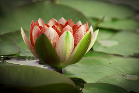 lotus flower is complimented by the rich colors of the deep blue water surface. Stock Photo